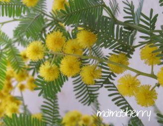 健康レシピの暮らしを彩る花:ミモザ